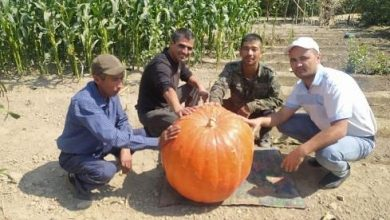 Photo of Өзбекстан фермерлері алып асқабақ өсіріп шығарды